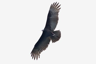 Black Vulture - Chiapas, SE Mexico