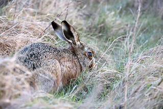 Brown Hare, Wild winter afternoon at Elmley NNR, ears up