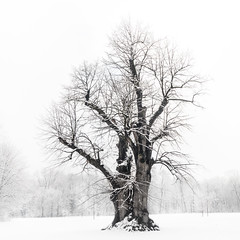 The Winter Tree (redfurwolf) Tags: tree winter forest snow munich englishgarden monochrome outdoor outdoors redfurwolf sony rx100m4 nature mono contrast white art fineart trees blackandwhite
