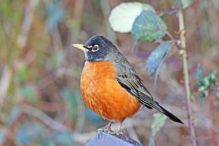 American Robin 18-0218-5165