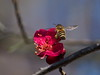 Japanese honeybee pollinating Japanese apricot blossoms (Greg Peterson in Japan) Tags: yasu 滋賀県 bugs shiga japan plants 昆虫 植物 flowers plumblossoms 野洲市 梅 ニホンミツバチ 花 wildlife shigaprefecture