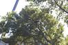 DSC_2206 (markpeterson1) Tags: jdtreepros redoak treeremoval
