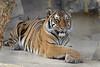 Crossed Paws (greekgal.esm) Tags: malayantiger tiger bigcat cat feline animal mammal carnivore efbc exoticfelinebreedingcompound felineconservationcenter wildcatzoo rosamond kerncounty antelopevalley sony rx10m3 rx10iii batari