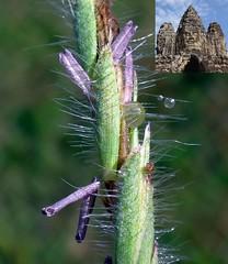 Sacred Seat. Purple-flowering Grass and the Bayon, Angkor Thom, Cambodia (Rana Pipiens) Tags: grass thebuddha bayonangkorthomcambodia dewdrops purplestamens turtle jayavarmanvii desmostachyabipinnata dharba kusha