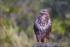 Ratonero (Lagier01) Tags: aves birds busardoratonero fauna hidelosaltillo nature wildlife pájaro rapaces animal