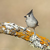 Black-crested Titmouse (anthonylouviere) Tags: bird songbird titmouse blackcrestedtitmouse