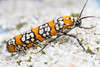 Ailanthus Webworm Moth - Atteva aurea (daveromsey) Tags: insect macro canonmpe65 nature moth ailanthuswebwormmoth