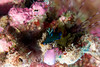 ARBARELLO-180113-10099 (ferlopez) Tags: underwater animal marinelife mollusc seaslug nudibranch dorid gloomynudibranch wailea mauihawaii usa