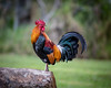 Rooster Rise & Shine (Fret Spider) Tags: chicken rooster crow bird feather wing morning waimea hawaii kauai ef ze carlzeiss sonnar1352ze sonnarapo1352ze aposonnart2135 bokeh bokehdelicious perch canon5dsr vacation relax travel park