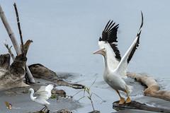 American White Pelican (fernaabs) Tags: american white pelican pelecanus erythrorhynchos pelícano blanco americano pelecaniformes pelecanidae aves fernaabs burgalin avesdecostarica
