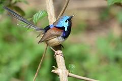 Variegated Fairy-wren_3405 (Malurus lamberti) (Neil H Mansfield) Tags: wren variegated fairy native nature blue nsw australia maluruslamberti variegatedfairywren