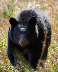 Black bear (Ursus americanus) (famasonjr) Tags: ngc greatsmokymountains usa infinitexposure black nature wild wildlife backlit sun