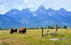 Bison, Grand Teton National Park Wyoming (Lerro Photography) Tags: bison field fence grand teton national park wyoming wildlife mountains mountain grandteton tetons