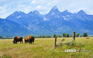 Bison, Grand Teton National Park Wyoming