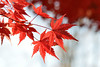 irohamomijimb_17y26l (takao-bw) Tags: イロハモミジ カエデ maple ムクロジ科 japanesemaple 紅葉 autumntint plant japan 植物