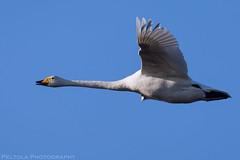 Whooper Swan (Peltola Photography) Tags: whooper swan birds birdphotography swans sigma canon5dmark4 sigma150600sport birdsinflight
