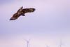 Blowing in The Wind (Jimweaver) Tags: eagle bird raptor harris hawk wildlife asia nature outdoor fly parabuteounicinctus baywinged dusky wing taiwan taichung gaomei wetland wind power sky sea 鷹 隼 鴞 鳥 飛 飄 滑翔 獵 猛禽 台灣 亞洲 台中 高美 濕地 天空 canon eos 80d