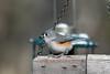 Tufted Titmouse (Salford Twp.) (stinkenroboter) Tags: salfordtownship bird tuftedtitmouse baeolophusbicolor