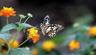 Un swallowtail dans les lantanas