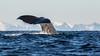 Lofoten 2018 (francoisbleinc) Tags: norway northernnorway lofoten winter andenes spermwhale whales cachalot baleine