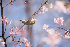 _DSC0825.jpg (plasticskin2001) Tags: mejiro sakura flower bird