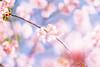 IMGL0589 (GARNETSKY2006) Tags: 180304sakura sakura japan record cherry blossom cherryblossom eos5d 5d3 50mmf12