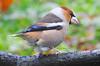 Mokolodi (josuneetxebarriaesparta) Tags: mokolodi picogordo durbec bicogrosocomún txoria ave pájaro bird