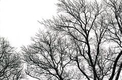 Camperdown Winter 1993 (Bobby Daz) Tags: 35mm bw ilfordhp5 mcrokkor58mm14 minoltasrt101b monochrome trees winter
