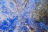 Frozen Canopy (Bob the Birdman and All Around Nature Guy) Tags: frozencanopy hoarfrost frozen canopy tree trees winter cold robertmiesner bobthebirdman landscape nature sky