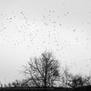 Crows and Gulls massing (tomgardner) Tags: britain british europe european greatbritain lothian midlothian penicuick scotland scottish uk unitedkingdom animals birds crows mono plant plants silhouette tree winter