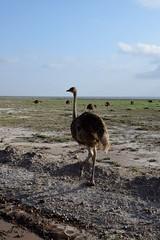 ah! i love ostriches (cknot1sk) Tags: amboselinationalpark kenyasafari ostriches