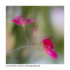 Unbekannte Schönheit / unknown beauty (H. Roebke (offline for a while)) Tags: 2018 de canon5dmkiv color pflanze nature flower germany blume natur makro plant macro farbe hannover orchid canon100mmf28makrolisii soft lightroom orchidee