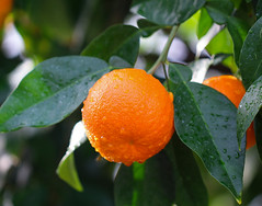 Orange (LuckyMeyer) Tags: frucht botanical garden makro orange green fruit rain drop water regentropfen