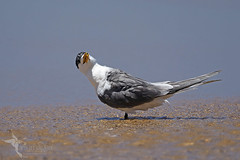 Crested Tern (VS Images) Tags: thalasseusbergii laridae crestedtern terns birds bird birding feathers wildlife wildlifephotography australia australianbirds animals avian nsw nature ngc naturephotography vsimages vassmilevski olympus olympusau olympusinspired getolympus m43 waterbirds beach