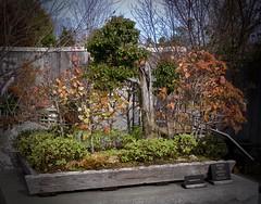 Miniature Woodland, Autumn (Melinda Young Stuart) Tags: tmt trees miniature japanese bonsai group nc arboretum vignette olympus collection exhibit autumn color leaves foliage