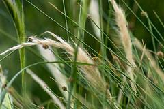 grasses (Greg Rohan) Tags: fountaingrass garden sydneypark d7200 2017 nikkor nikon green grass grasses nature