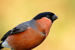 Bullfinch ♂️ (ABPhotosUK) Tags: animals birds bullfinch canon dartmoor devon ef100400mmisii eos7dmarkii finches fringillidae garden pyrrhulapyrrhula seasons wildlife winter winterwatch