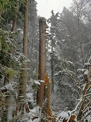 Trees in the snow (walneylad) Tags: kirkstonepark westlynn lynnvalley northvancouver britishcolumbia canada snow snowstorm snowflakes february winter cold white park parkland forest urbanforest woods woodland trees branches logs green brown nature view scenery