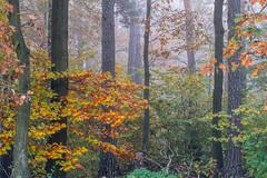 colourful leafs and mist - Farbenpracht im Nebel (ralfkai41) Tags: autumn autumncolours nebel herbst nature mist outdoor blätter wald natur bäume woodlands forest farben fog leafs trees herbstfarben colours woods
