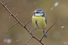 La Cinciarella e la neve (Polpi68) Tags: bird birds birdwatching cinciarella nature