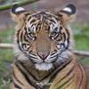Rakan (ToddLahman) Tags: tiger tigers tigertrail tigercub sandiegozoosafaripark safaripark sumatrantiger escondido eyelock exhibitb canon7dmkii canon canon100400 closeup portrait mammal male beautiful outdoors rakan