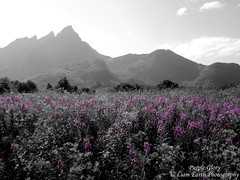Purple Glory (liamearth) Tags: earth shore sky mountain sceneic wilderness beautiful view outdoor water western landscape wild lofoten norway arctic circle traveling real life camping serene mountainside still clear texture contrast cliff bay colour vestvågøya rock grass green pastures field ballstad leknes skottinden river tree forest animal purple garden flower selective selectivecolour flowers depthoffield dof