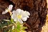 Joshua Tree National Park, Quail Springs, California Evening Primrose (darthjenni) Tags: california jotr mojavedesert nationalparkservice nps sanbernardinocounty wildflower twentyninepalms unitedstates us