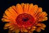 Gerbera is one of my absolute favorite flowers (Olof Virdhall) Tags: gerbera flower coloursonblack colorful closeup makro canon eos5 mkiii olofvirdhall