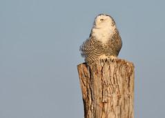 DSC_9660_edit (Hanzy2012) Tags: toronto ontario canada lesliestreetspit tommythompsonpark d500 afsnikkor500mmf4difedii bird wildlife snowyowl buboscandiacus nature wild