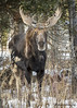 Bull Moose (Brandon Downing) Tags: nikon nature national forest wildlife animals moose 70300mm lens light snow mammal outdoors antlers trees d500 bell portrait stare