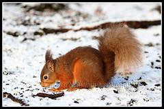 IMG_0147 Red Squirrel (Scotchjohnnie) Tags: redsquirrel sciurusvulgaris squirrel squirrelphotography rodent mammal wildlife wildlifephotography wildandfree wildanimal nature naturephotography naturewildlifeandbirds canon canoneos canon7dmkii canonef100400f4556lisiiusm scotchjohnnie