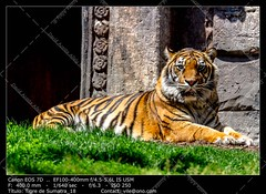 Bengal tiger (__Viledevil__) Tags: aggressive anger angry animal beast beautiful beauty big carnivore cat conservation danger dangerous dark eye face feline fierce hair head hunt hunter jungle mammal mouth nature orange predator staring striped stripes tiger undomesticatedcat wild wildcat wildlife yellow