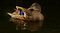 Quack Quack (Christina's World-) Tags: nature duck reflection blackbackground colorful country california feathers water sandiego bird pond specanimal coth5