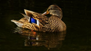 Quack Quack